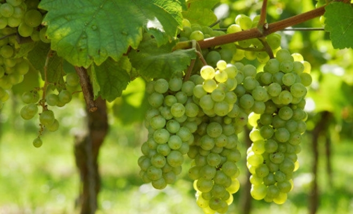 The Indigenous Grapes of Croatia: Graševina