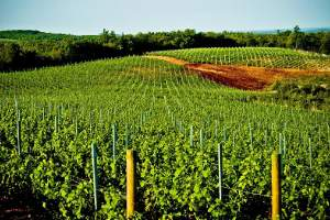 Looking for a Quality Vineyard in the Heart of Istria?