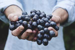 Grape Harvest in Hands of Serbian Labourers, as Local Ones in Slavonia are Missing