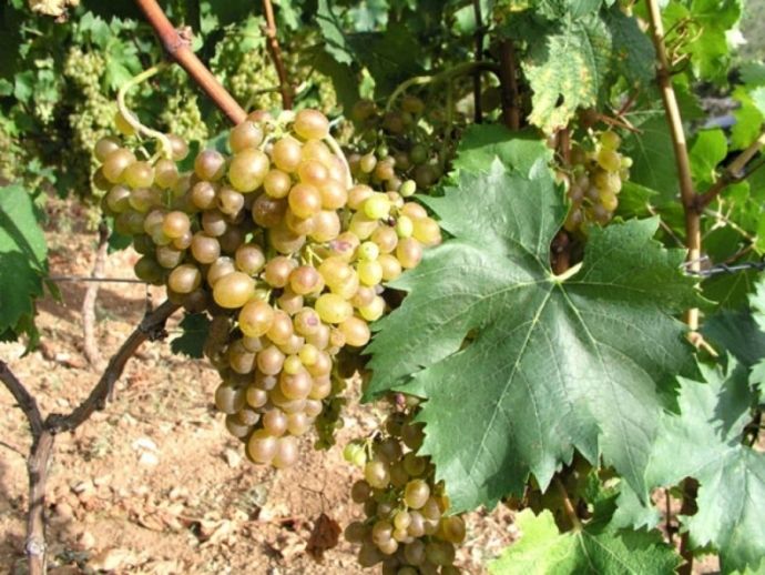 Dalmatian Pošip: From a Small Vineyard to the Leading Dalmatian Variety!