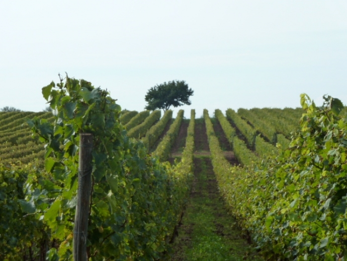 The Indigenous Grapes of Croatia: Malvazija